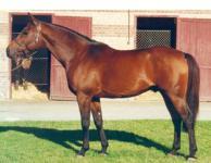 DARIKE Stallion